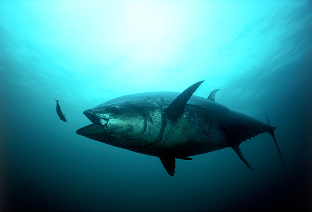 Farmed Fresh Bluefin Tuna